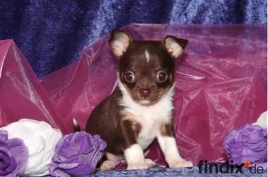 Wunderschöner Lh Chihuahua Welpe VDH FCI CKD! Sucht eine neue Ren