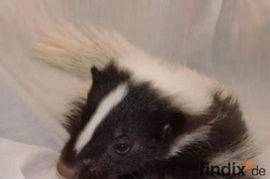 Wurfankündigung 2012 Stinktier Skunk Streifenskunk Welpen Babys