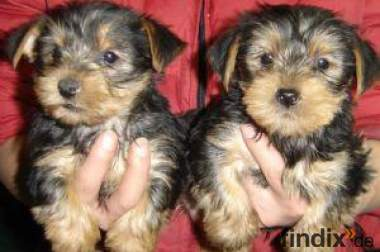 Yorkshire terrier mini bis 3 kg