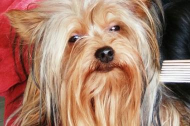 Yorkshire Terrier  (minni)