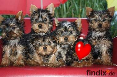Yorkshire-Terrier Welpen in Berlin- Hermsdorf