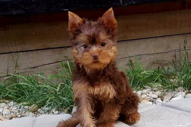 Yorksjire Terrier in schoko/loh mit Stammbaum!