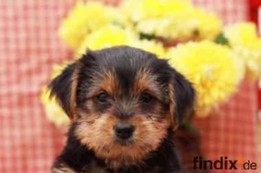 Zärtlich Yorkshire Terrier Welpen