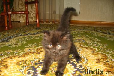 Zauberhaftes BKH/Norweger Kitten