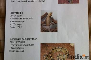 Zu Verkaufen:  Vogelspinne / Bartagame / Königspython