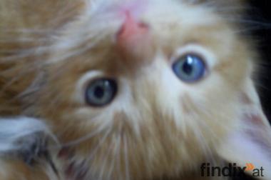 Zuckersüße MAin Coon Mix Kitten