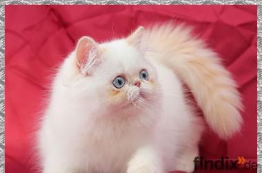 Zuckersüße Perserkitten in Colourpoint mit blauen Augen