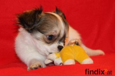 Zuckersüßer, langhaariger Chihuahua Welpe in weiß