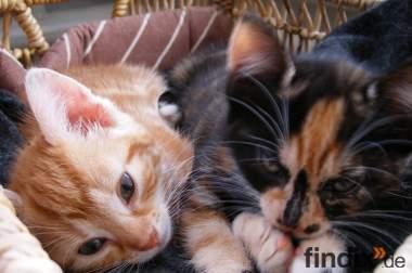 Zwei 10-Wochen alte Babykatzen abzugeben