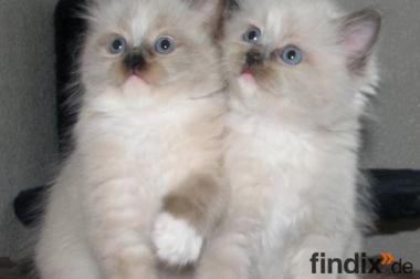 Zwei hübsche Kätzchen Ragdoll