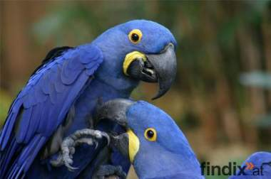 Zwei inländische Hyazinthara Vögel