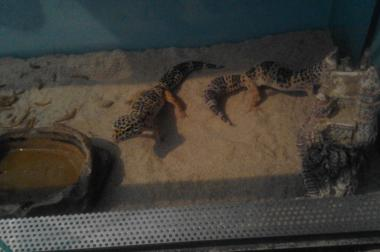 zwei leobarden geckos