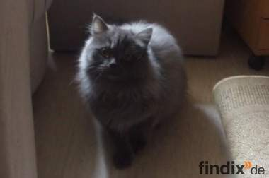 Zwei Perser / Kater & Katze
