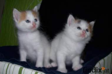 zwei Reinrassigte Türkische Van Katzen suchen noch ein Zuhause