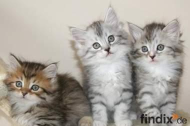 Zwei schöne sibirische Kätzchen - 3 Monate