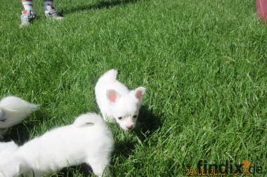 Zwei süße Chihuahua Welpen (weibchen) abzugeben!!