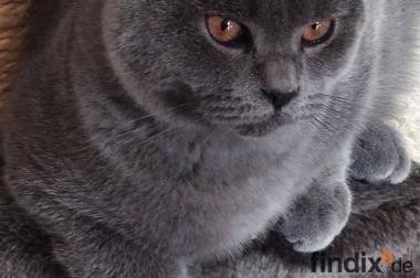 Zwei wunderschöne, verschmuste BKH Kitten mit Papiere