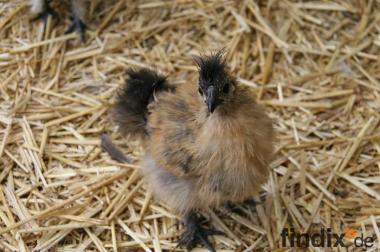 Zwergseidenhühner zu verkaufen
