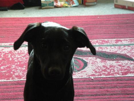 6 Monate alte Labrador Jack Russel Hündin abzugeben 52309