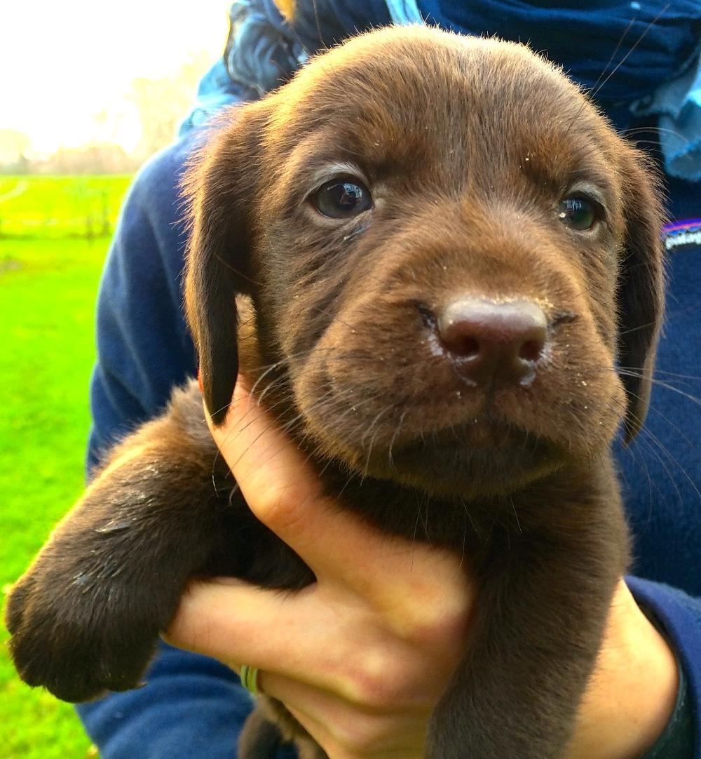 Braune Labrador