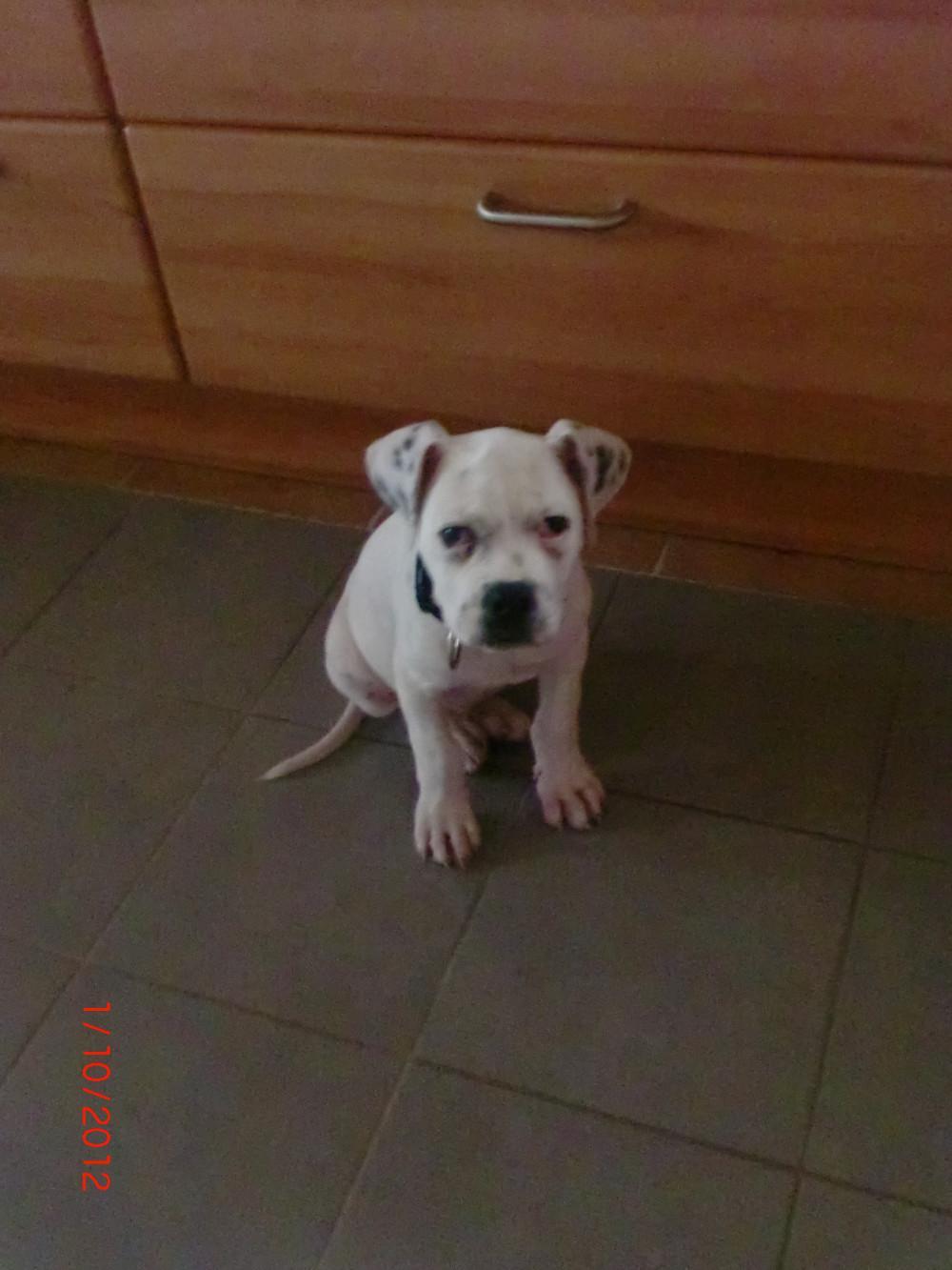 American Bulldog Welpe 10 Wochen Alt 821029