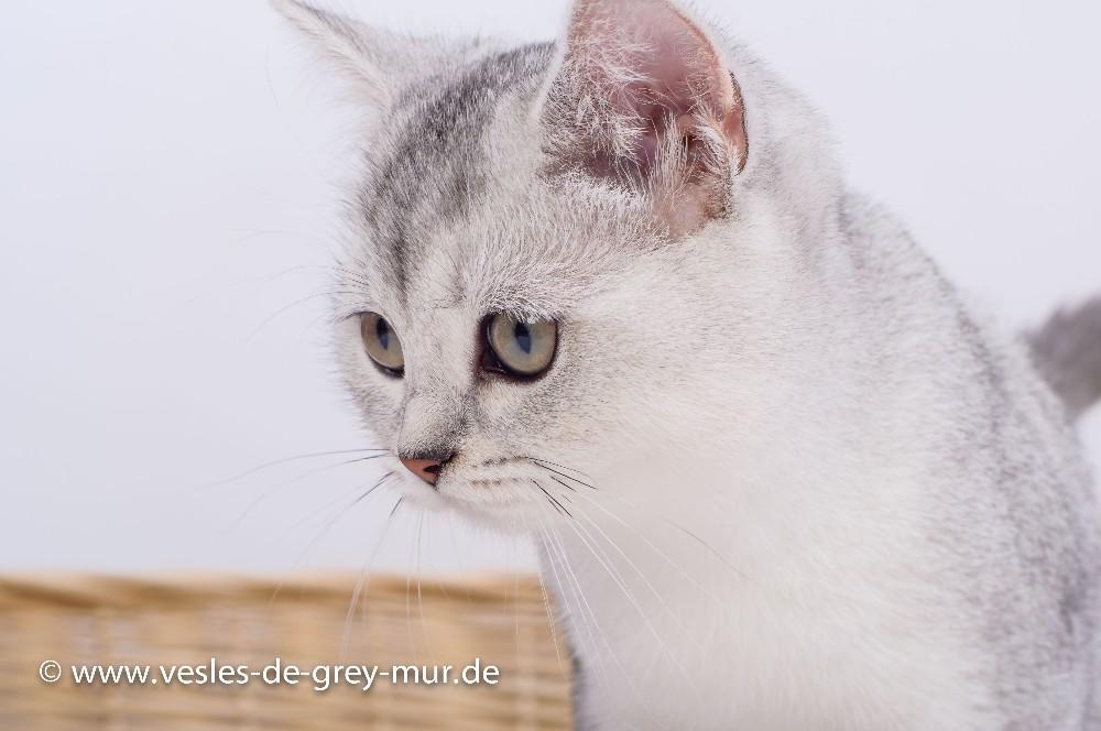 britisch kurzhaar kitten in der farbe silver shaded 821770. Black Bedroom Furniture Sets. Home Design Ideas
