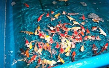 Butterfly koi koi karpfen uvm fa f rdefisch 427901 for Koi teichfische