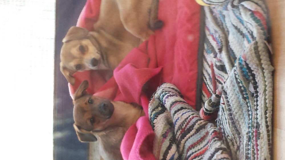 chihuahua mischlinge zu verkaufen 853660