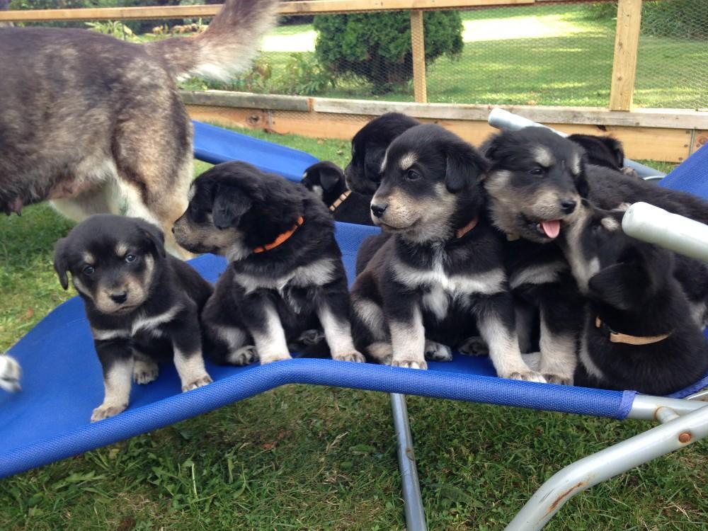 Husky labrador mix zuchter – Dogs our friends photo blog