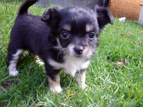 Kleine Langhaar Chihuahua Welpen 220554