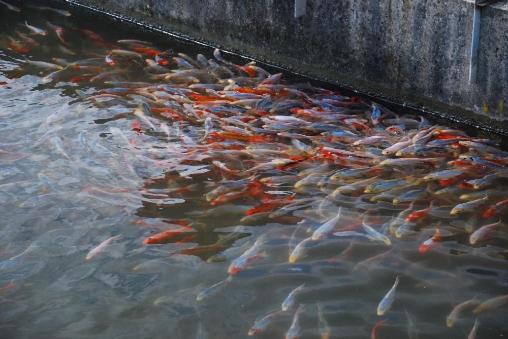 Koi teichfische muscheln krebse schon jetzt f r 2016 for Teichfische shubunkin