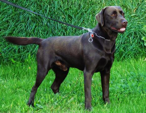 Labrador Welpen Schokobraun Vom Bauernhof Abzugeben 261434