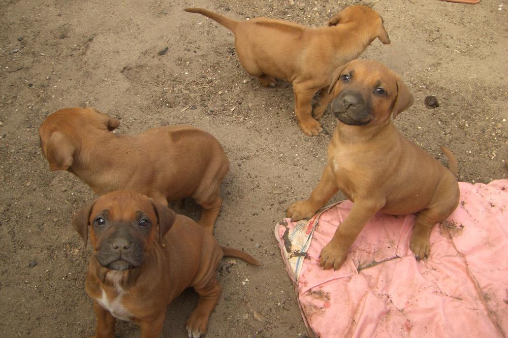 Rhodesian Bulldog Mix Welpen 477988