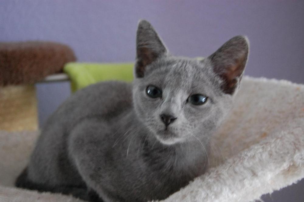 Russisch Blau Katze - 606503