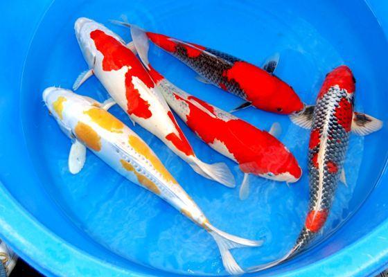 Spitzen koi teichfische biotopfische fa f rdefisch 454831 for Teichfische bestellen