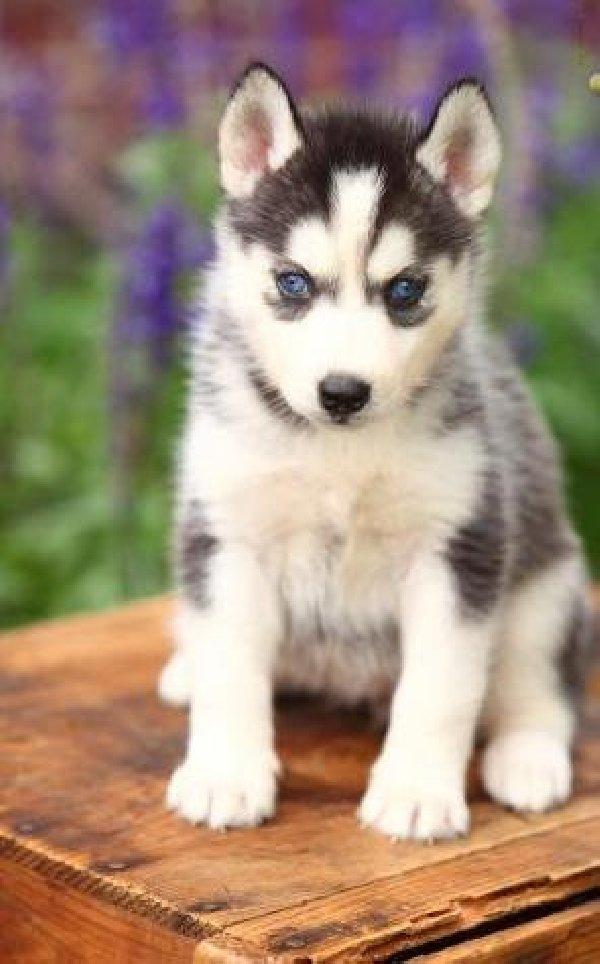 Gartenmobel Outlet Affalterbach : Suche Siberian Husky zu verschenkenverkaufen!  850728