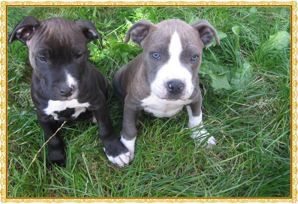 american staffordshire terrier vs - photo #23