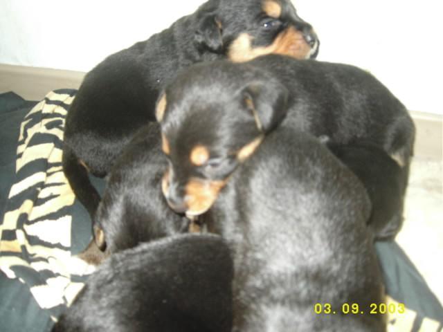 Susse Labrador Mix Welpen 481705