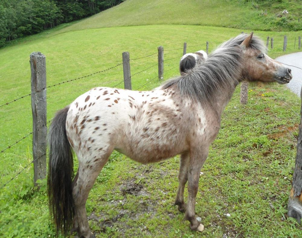 verkaufe shetland pony stute braun getigert 516031. Black Bedroom Furniture Sets. Home Design Ideas
