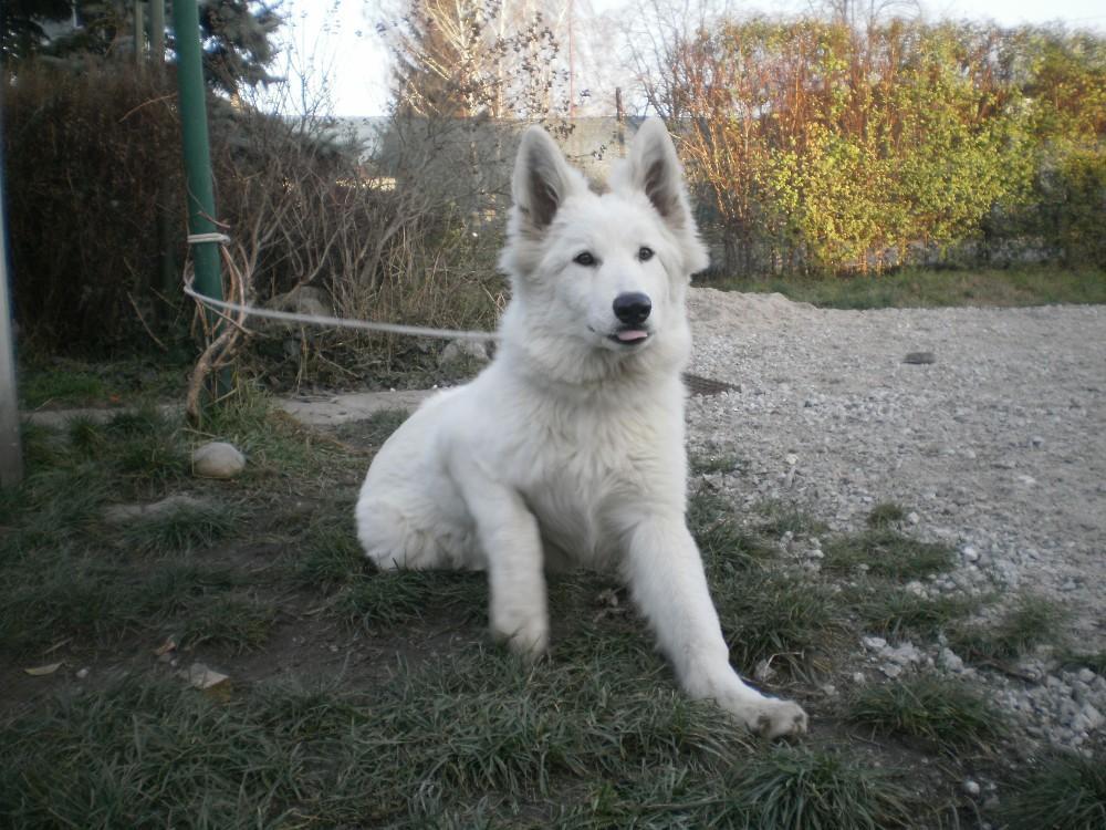 Weisser Schweizer Schaferhund Sofort Abzugeben 870792